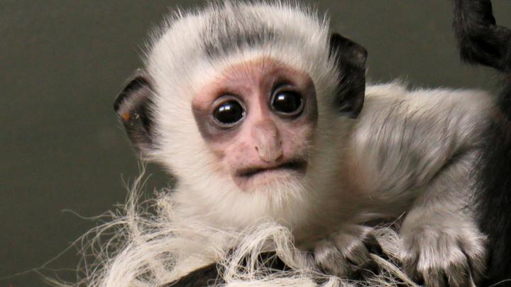 У чёрно-белых обезьянок в Новосибирском зоопарке родился малыш