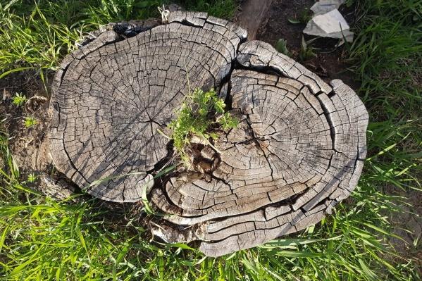 Аварийные деревья сначала обследует комиссия, и только потом их разрешают снести