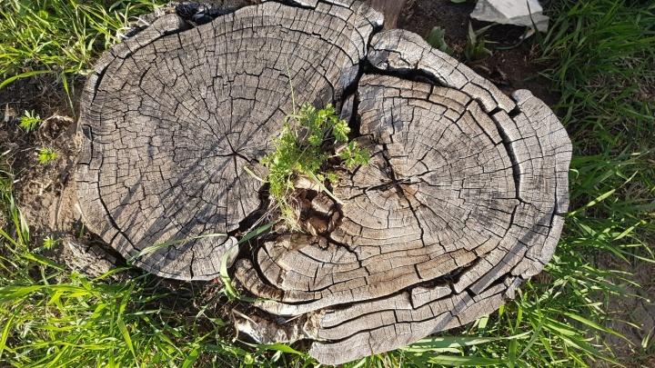 Кто и зачем спиливает деревья, объяснили в администрации Кургана