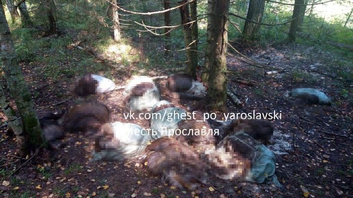 Хотели сделать попоны для лошадей: в ярославских лесах убили 13 лосей