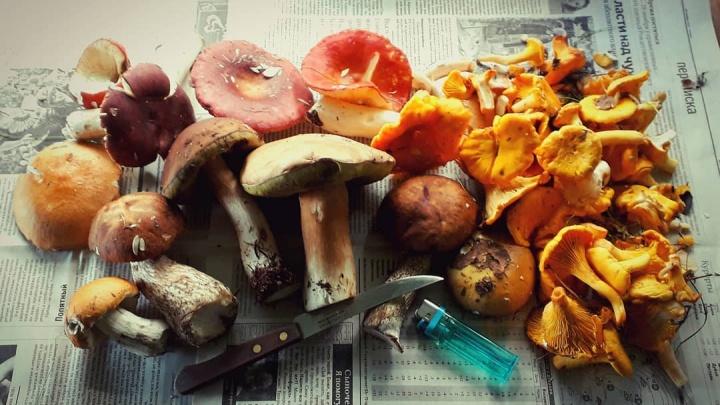 Лесное ассорти: какие грибы можно найти в лесах Архангельской области