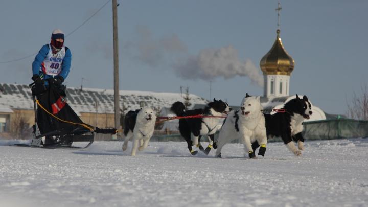 Самые обаятельные спортсмены: как в Омске проходят двухдневные гонки на хаски и самоедах