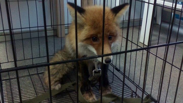 Волонтёры рассказали о судьбе лисы, которую поймали на школьном дворе