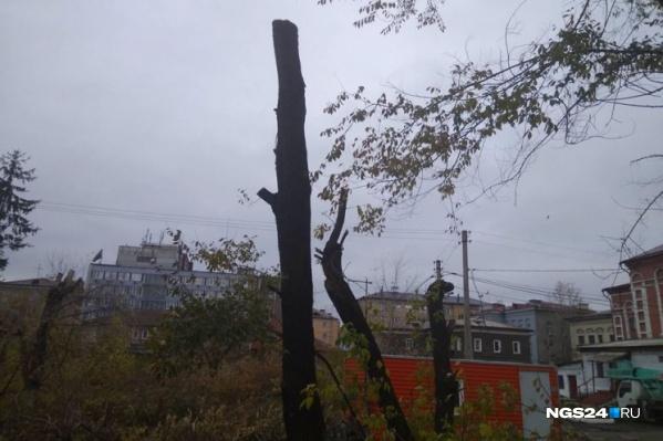 Некоторые деревья после обрезки стали походить на колья
