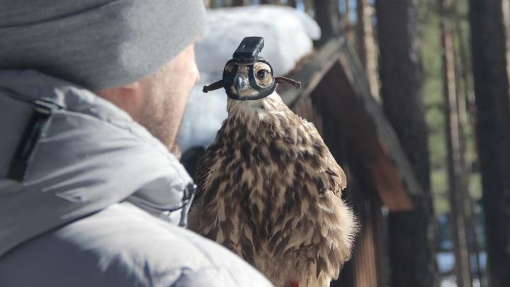 Птица-беспилотник: под Екатеринбургом запустили летать сокола с камерой на голове