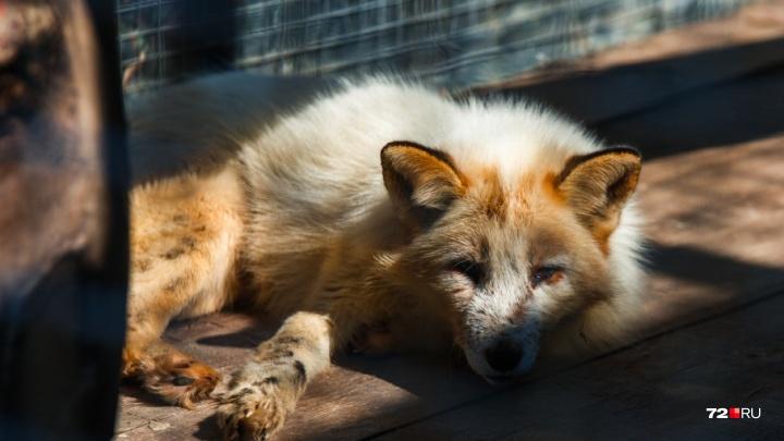 В тюменском селе, где объявилась дикая лиса, срочно прививают от бешенства всех собак и кошек