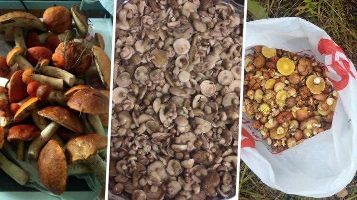 Гребут вёдрами: учёный-миколог отправил новосибирцев в лес за маслятами