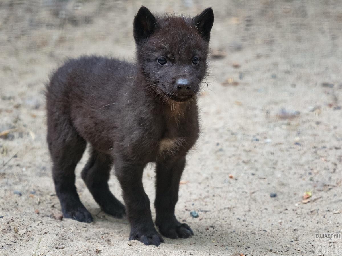 «Первая пара чёрных волков поступила из Канады совсем малышами в 1992 году. С 1995 года канадские волки регулярно размножаются. Всего в зоопарке родилось 63 чёрных волчонка», — говорится на сайте зоопарка