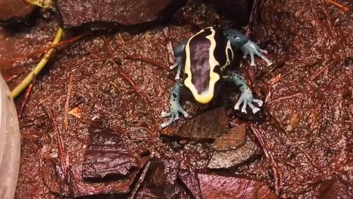В «Роевом ручье» дали потомство экзотические ядовитые лягушки