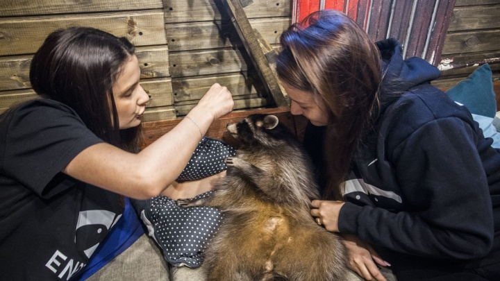 Как приручить енота — изучаем первое енотокафе в Новосибирске, где хозяйничают Лиза, Ева, Боря и Фил