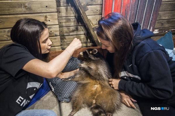 В новосибирском енотокафе живут четыре енота — это абсолютно домашние, ручные зверьки, которые были приручены в девятом поколении