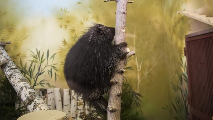 В Екатеринбургском зоопарке дикобразы переехали в новый вольер