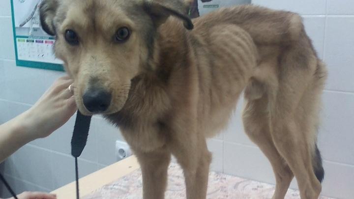 Волонтёры спасли от голодной смерти брошенного на цепи пса