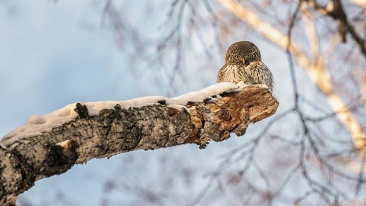 В Новосибирске заметили миниатюрных хищных птиц — они пожирают снегирей и воробьёв