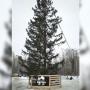 В Перми возле ДКЖ поставили«облезлую» елку. Так ли это?