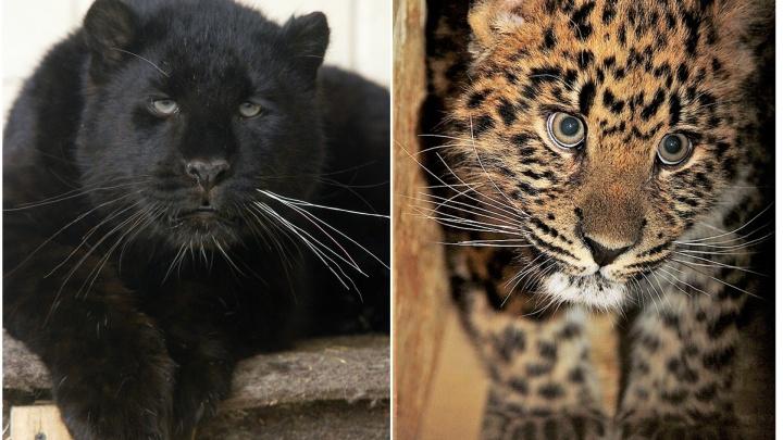 В зоопарк Екатеринбурга привезли самых редких кошек в мире
