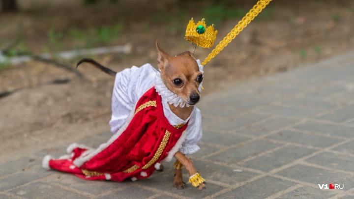 Мушкетеры, десантник и ангел: в центре Волгограда собаки устроили пышный маскарад