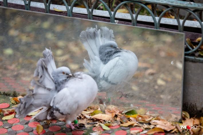 В голубятне хозяин поставил два больших зеркала — чтобы птицам не было скучно