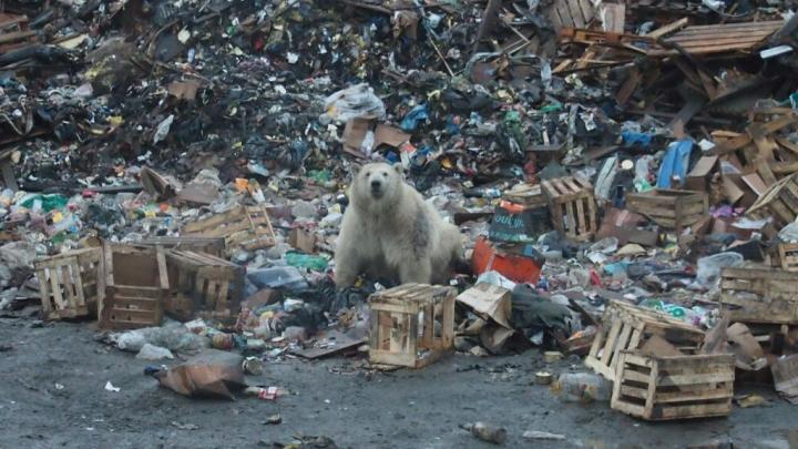 Как жить рядом с косолапыми? В Архангельске пройдёт семинар по обращению с белыми медведями