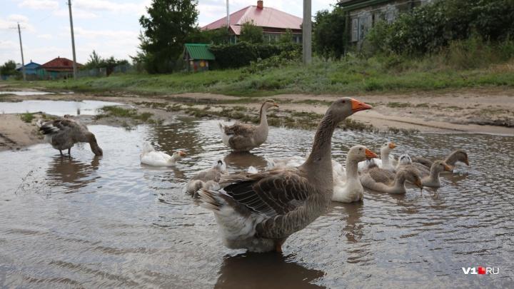 Зато свиней вокруг всё больше: в Волгоградской области за год вымерла четверть кур и уток