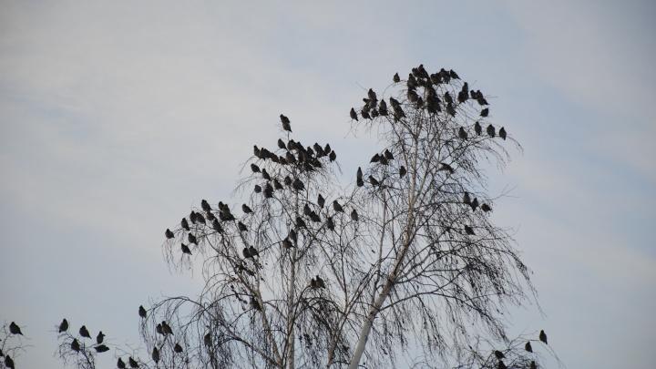 Фото: стая свиристелей облюбовала деревья в Октябрьском районе