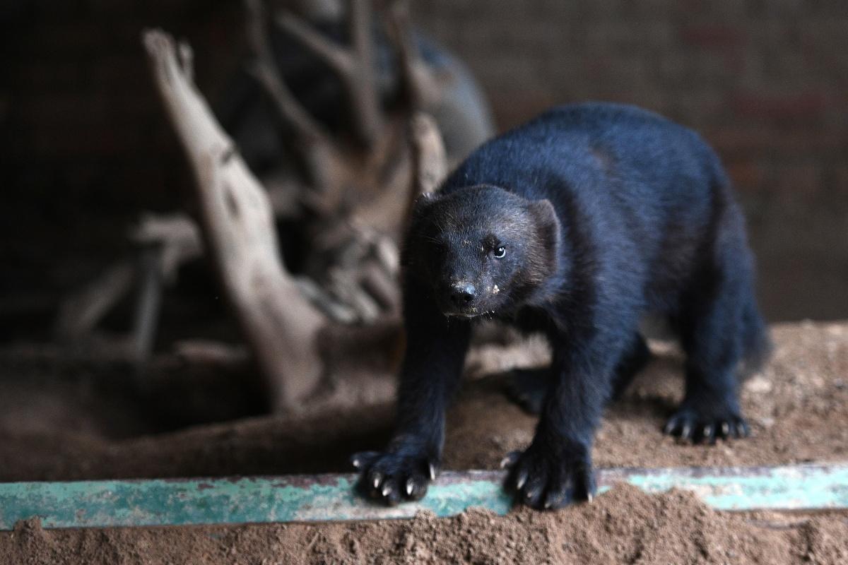 Росомахи содержатся в Новосибирском зоопарке с 1975 года