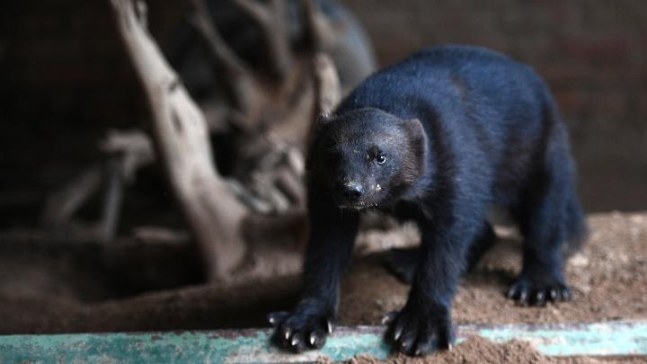 В зоопарк Новосибирска привезли подброшенную росомаху, пару филинов и обезьянок с белой мордой