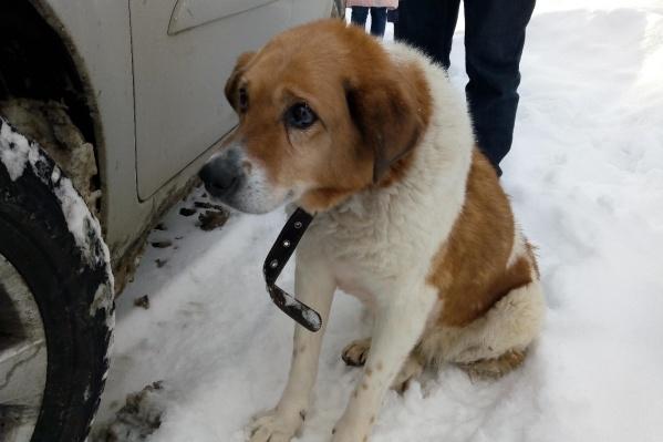 Несмотря на травмы, собака смогла дойти до улицы Уральской