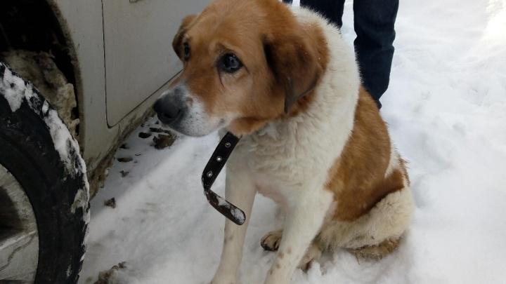 Пермские зоозащитники спасают собаку, сбитую трамваем