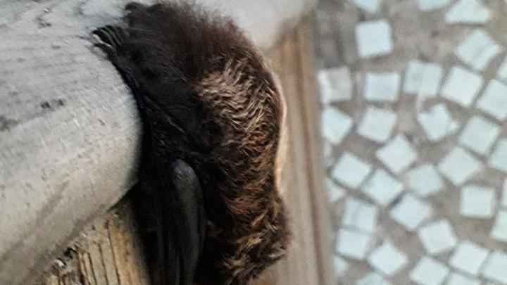Летучие мыши зачастили в квартиры жителей «Солнечного»: в этот раз поселились на балконе