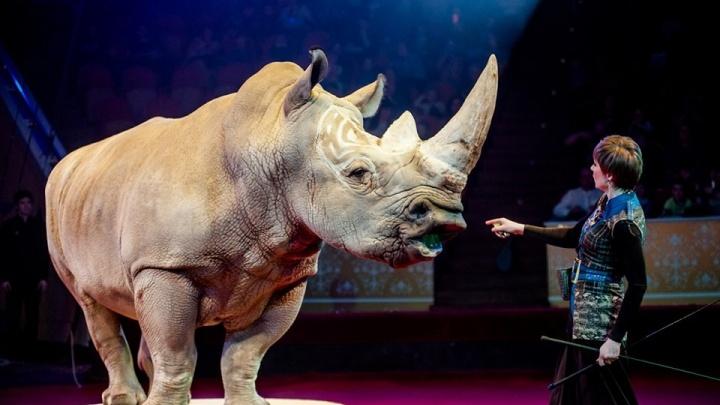 Уникальный носорог, который исполняет команды: Тюменский цирк представил «Белое шоу»