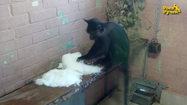 Обезьянам в зоопарке впервые в жизни показали снег. Показываем, что из этого вышло