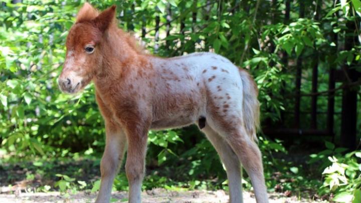 Крохотный жеребёнок показался публике в Новосибирском зоопарке