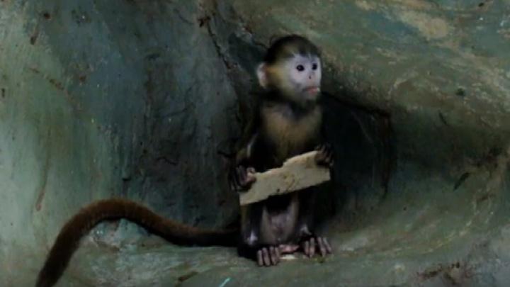 Видео: в зоопарке подросла милая оранжевая обезьянка