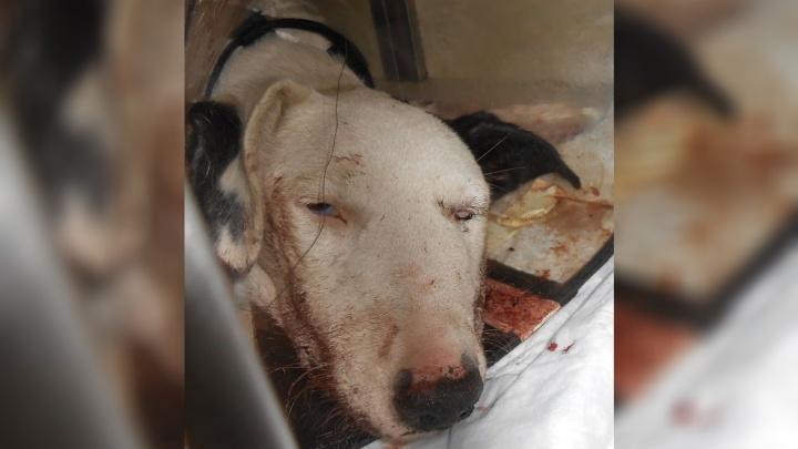 «Шел убивать»: в Аксае агрессивный военный избил собаку битой
