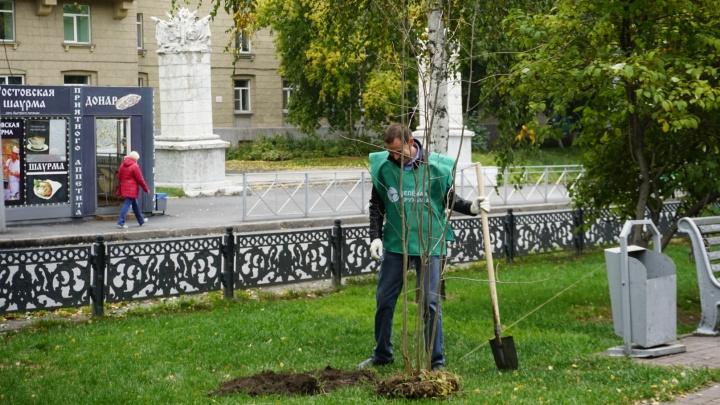 На аллее Красного проспекта посадили 125 рябин