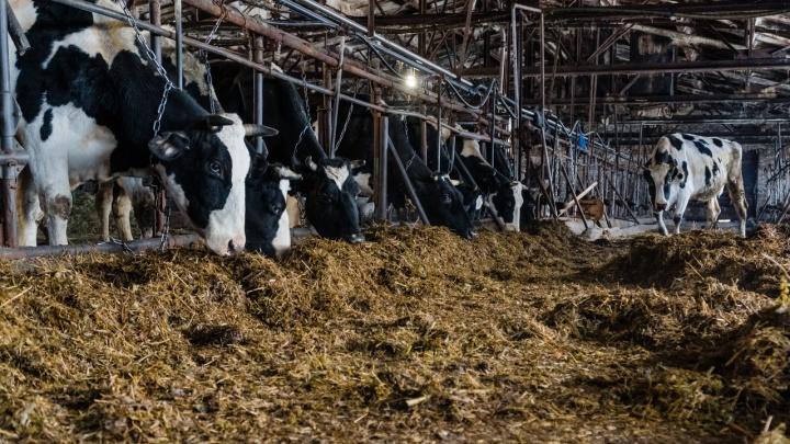 Пермская ветинспекция оштрафует кооператив «Северный», где погибли коровы и телята