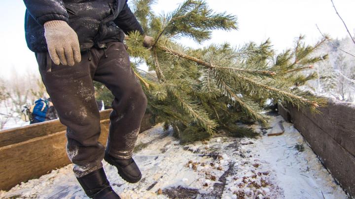 Жителей Самарской области будут штрафовать за срубленные елки