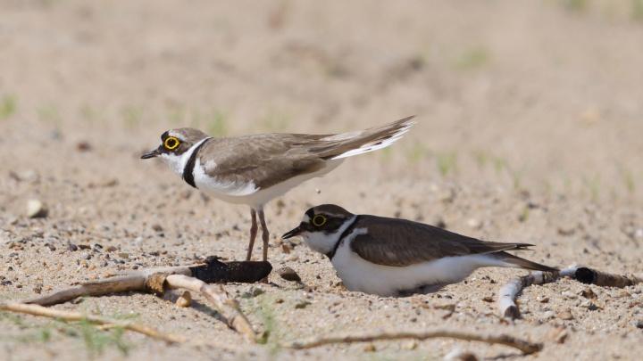 Самые осторожные птицы показали волгоградцам своих птенцов