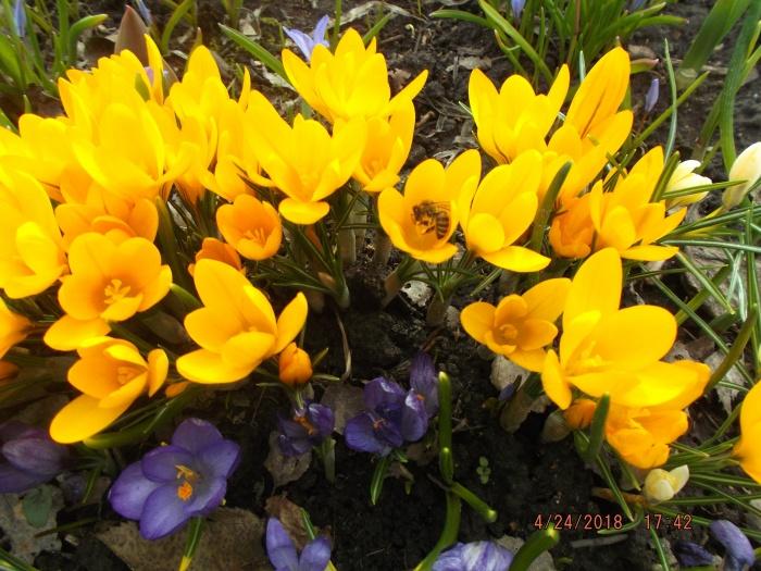 Осы уже собирают нектар на первых весенних цветах