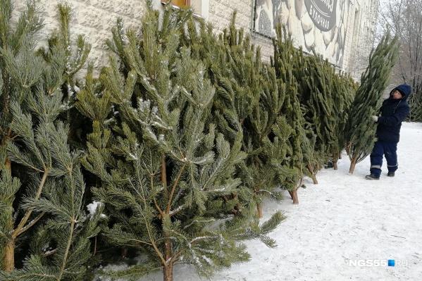 Сезон выноса ёлки из дома на улицу официально открыт — но, как выяснилось, омичи не торопятся расставаться с новогодними деревьями. Или просто выносят их сами, без посредников