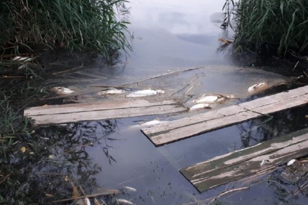 Активист убеждён, что в пруду рыба погибла от слива отходов через ливнёвку