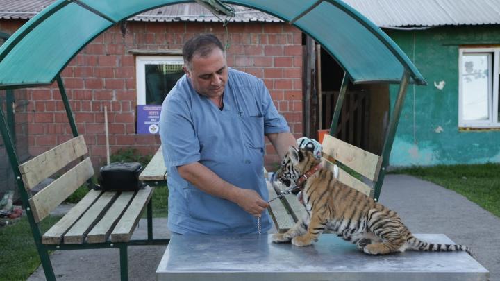 Просто зверство: челябинскому зоозащитнику привезли тигрёнка, которого пытались украсть и покалечили