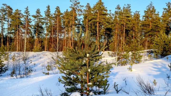 Рубим законно: расскажем, как в Нижегородской области достать ёлку за 10 рублей и не получить штраф