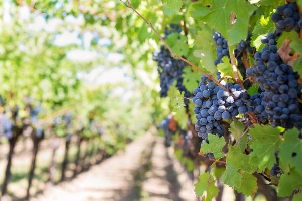 Виноградарские хозяйства привезут свою продукцию