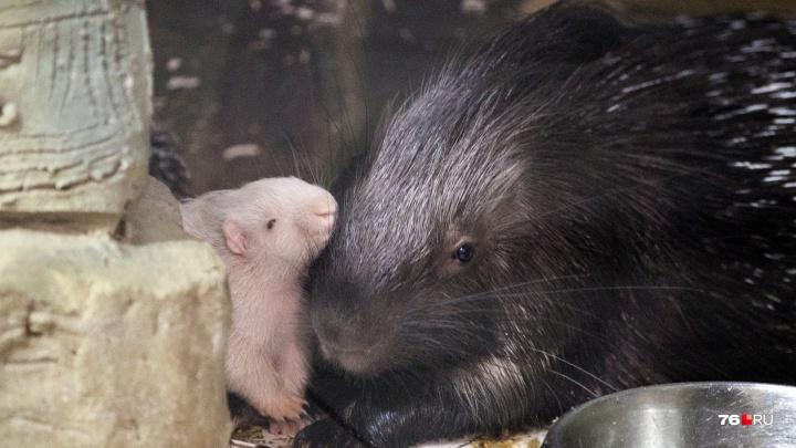В Ярославском зоопарке родился дикобраз-альбинос: трогательные фото