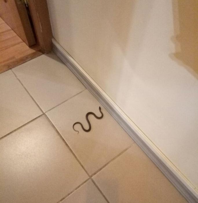 Змея оказалась неядовитым полозом