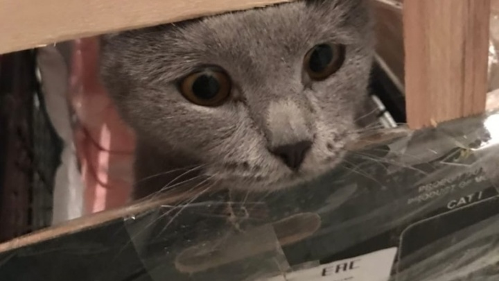 От них отказались в других городах: пермские волонтеры спасают четырех котов из Башкирии