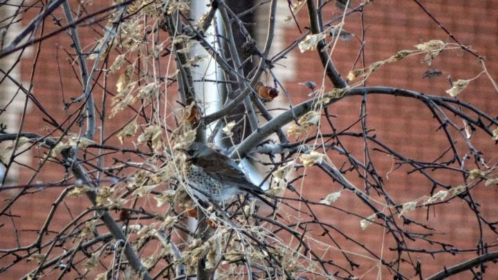 В Новосибирске заметили птицу, которая сбежала из города из-за неурожая рябины