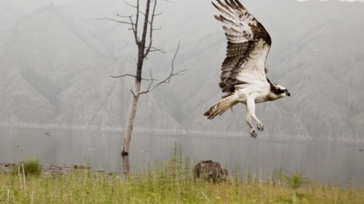 В Индии погибли птицы из Саяно-Шушенского заповедника. Они ударились о ветряки